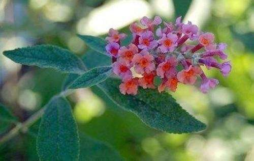Butterfly bush (Buddleia)