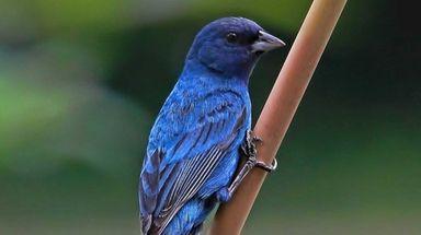 The Huntington-Oyster Bay Audubon Society, Garden City Bird
