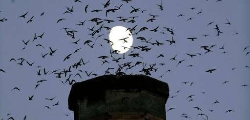 A group of migratory Vaux's Swifts flock to