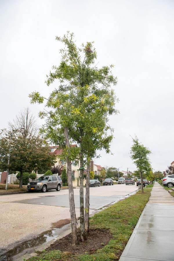 Trees recently planted along Beech Street in Long