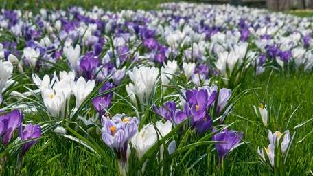 Crocus naturalized in the lawn.