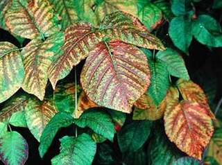 Poison ivy can show up in different colors
