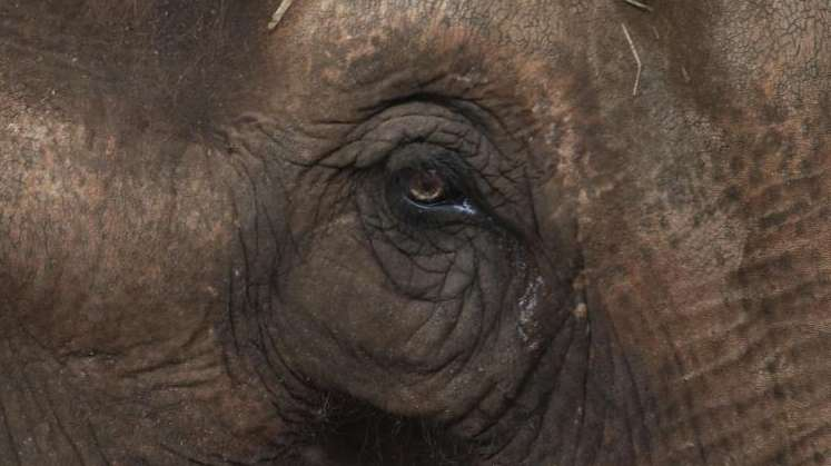 Maia, an Asian elephant who spent most of