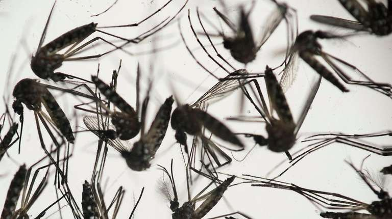 Aedes aegypti mosquitoes are responsible for transmitting dengue
