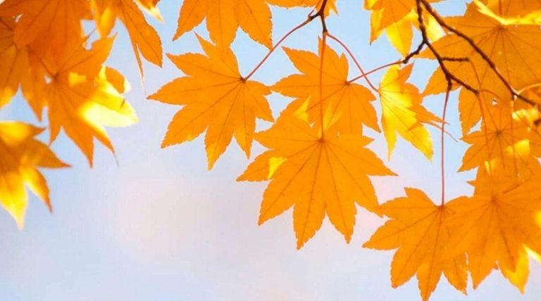 Autumn, Leaf, Tree, Morning, Japanese Fall Foliage, Branch,