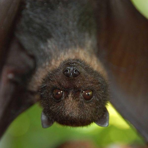 A Mariana fruit bat is seen in a