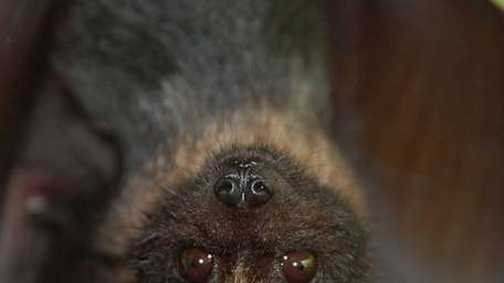 A Mariana fruit bat is seen in a