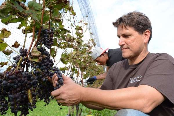 Anthony Sannino of Sannino Vineyard in Peconic, checks