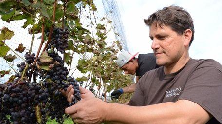 Anthony Sannino of Sannino Vineyard in Peconic, checks