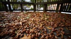 Acorns fill a deck in Ronkonkoma on Oct.