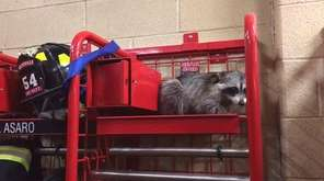 A raccoon was caught on camera on a