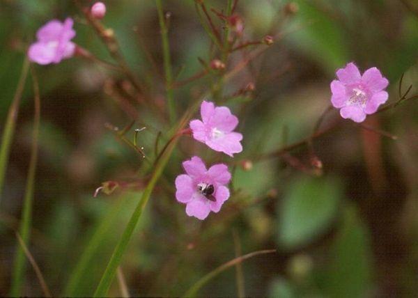 Sandplain gerardia on Sept. 7, 1988, became one