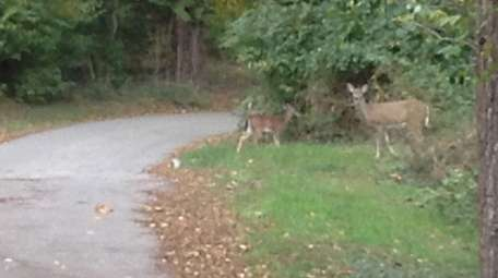 Deer are becoming increasingly common on streets such