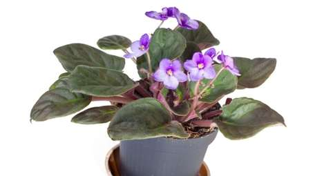 African violets are cute, but they're pretty finicky