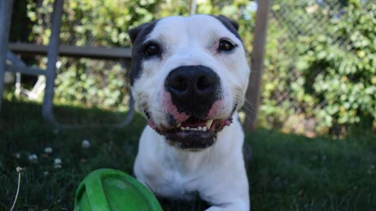 Roger, a male pit bull, was recently adopted