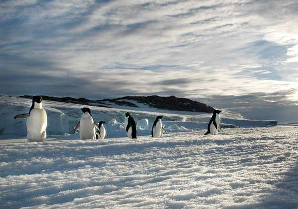 Adélie penguins are pictured on Shirley Island in