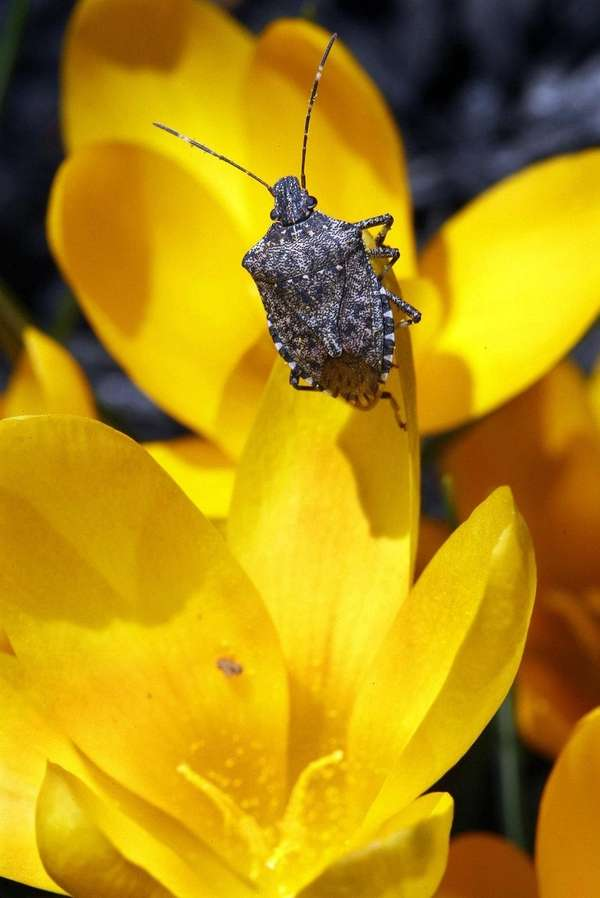 Although stink bugs don't bite, cause structural damage