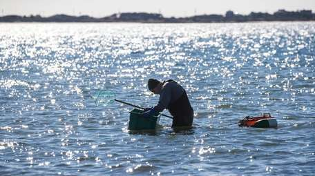 A man looks for scallops at Napeague Harbor