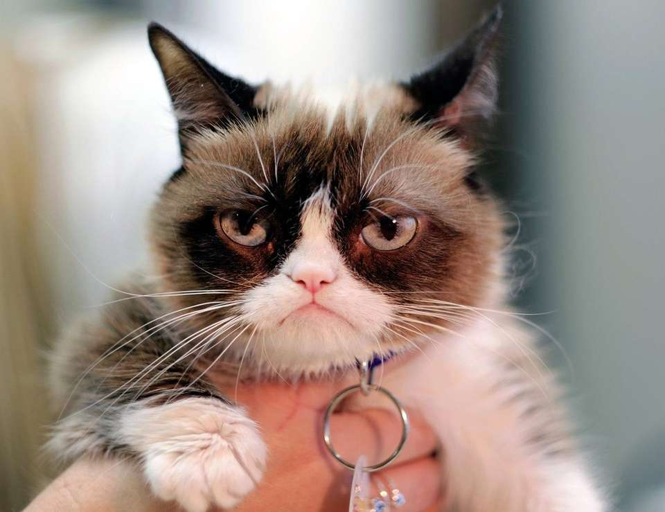 Grumpy Cat is known for her annoyed expression,