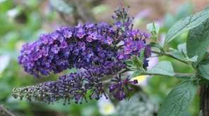 Butterfly bushes benefit from a spring pruning, but