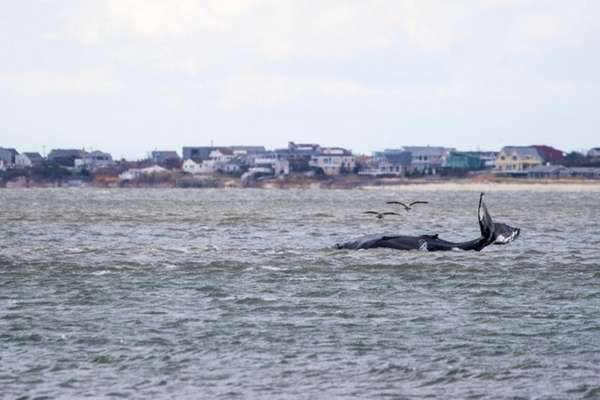 A humpback whale was stuck on a sandbar