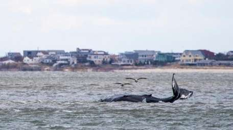 A humpback whale was stuck on a sandbar