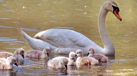 A mute swan swims with its offspring in