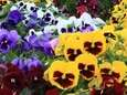 Pansies will be the featured annual in 2017;