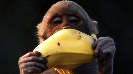Monkeys grab fruit when they see it, and