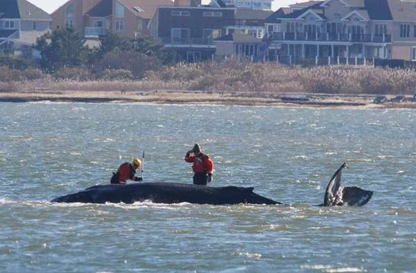 Officials examine the 33-foot humpback whale stranded in