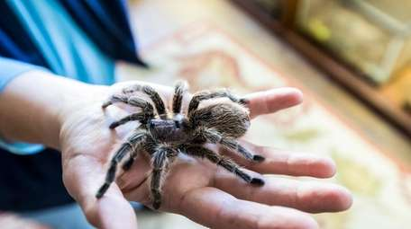 Rosehaired Tarantula in the Reptile room at Sweetbriar