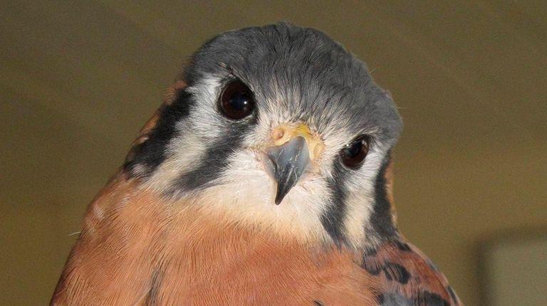 Buster, a male American kestrel, was taken Friday,