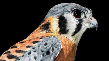 Volunteers for Wildlife's male American kestrel falcon named
