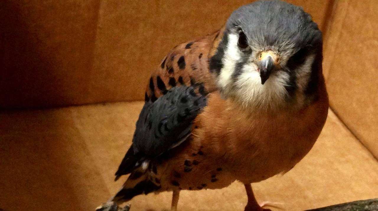 Buster, a federally protected falcon abducted Friday, Dec.