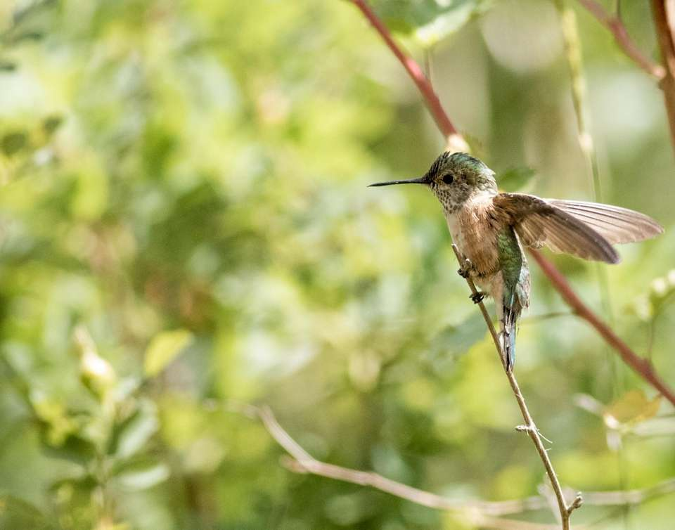 A broad-tailed hummingbird prepares for takeoff from a