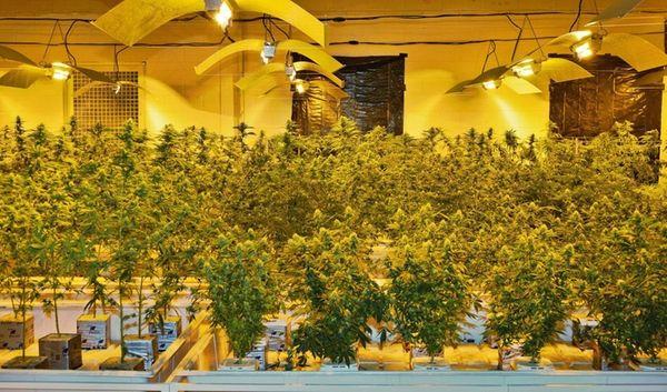 Marijuana plants at Vireo Health in Perth, in