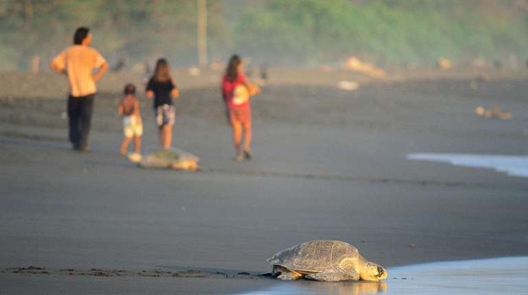 An olive ridley sea turtle returns to the