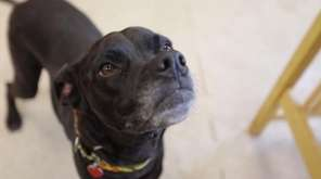 Molly is a 1-year-old Lab-boxer mix with a