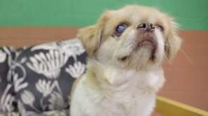 Ginger is a 9-year-old Pekingese who is shy