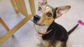 Mulan is 1-year-old cattle dog mix who is