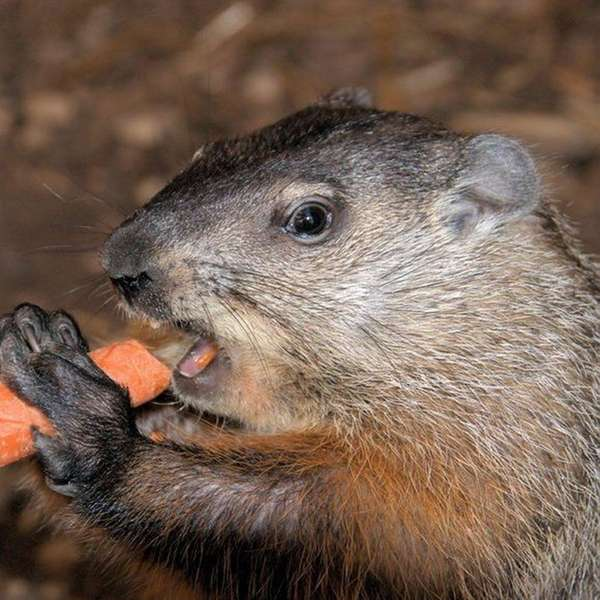 Sweetbriar Nature Center's Sam the groundhog hosts a
