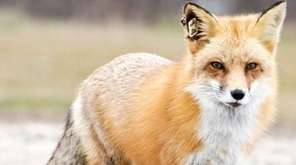 The red fox believed to be the one