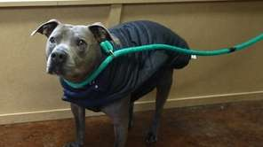 Hamilton is a Pit Bull terrier who's about8
