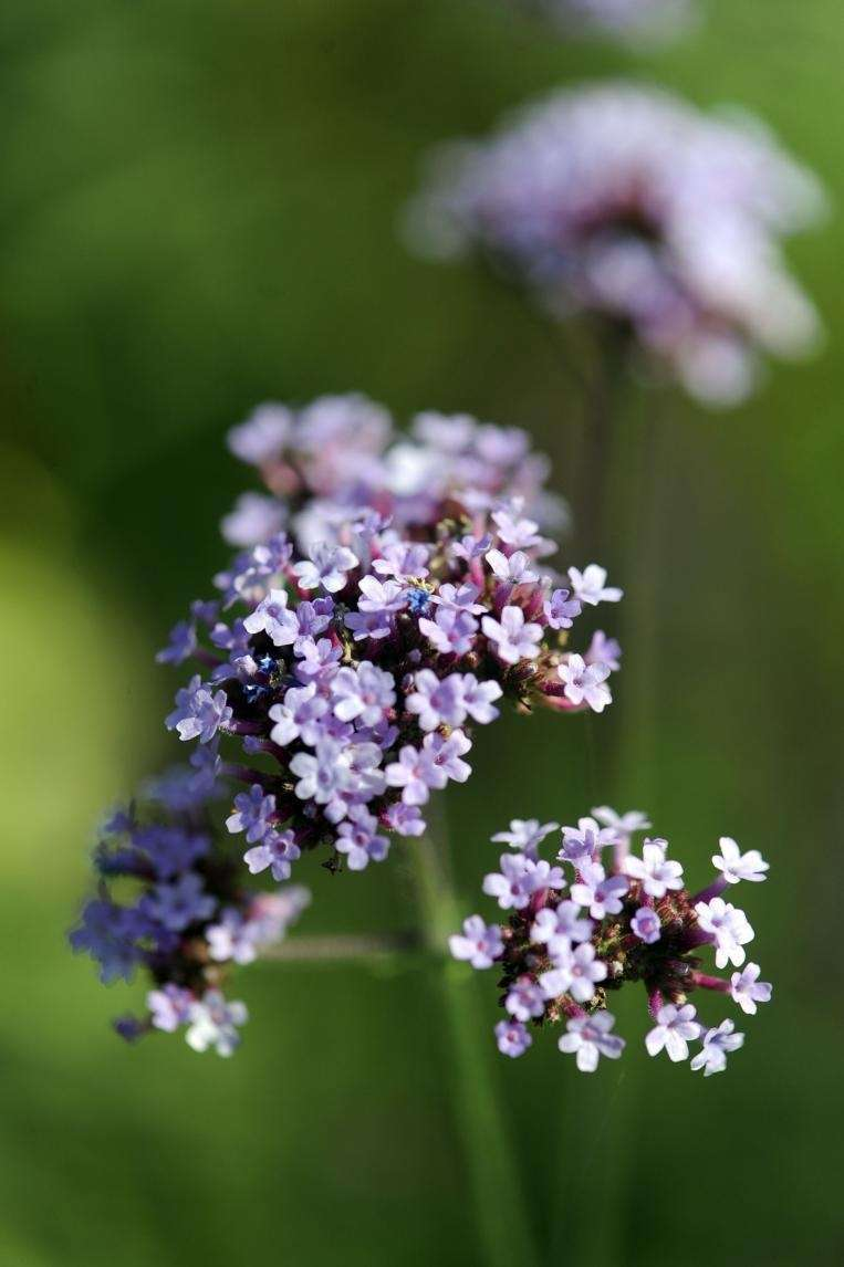 East Hampton, NY: Thursday, July 09, 2009-- Verbena