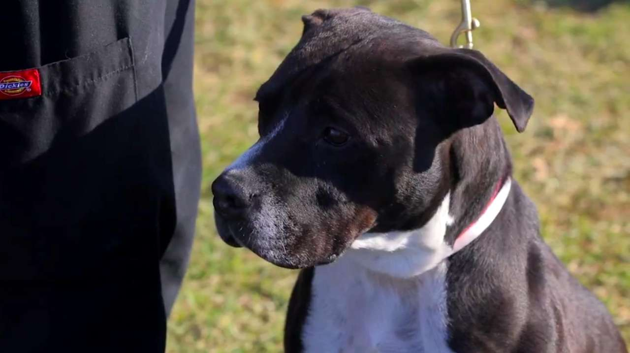 Prince is a 6-year old male pit bull mix.