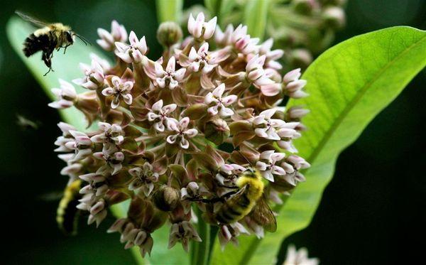 Milkweed is one of the most popular flowering