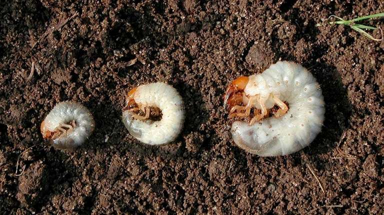 Grubs are just one example of garden lawn