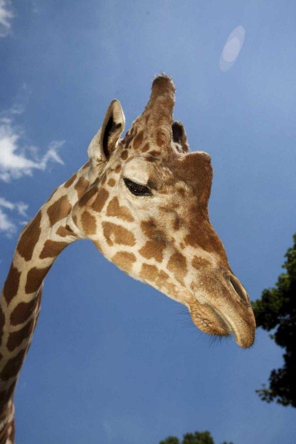 Clifford, a male reticulated giraffe, celebrates his 7th