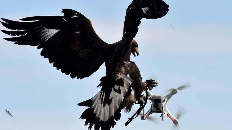 A royal eagle catches a drone during flight