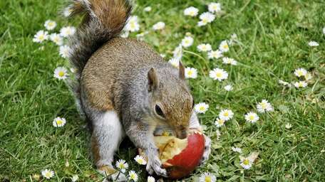 To repel squirrels from gobbling up the fruits